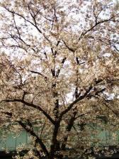 Sakura011