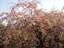 Sakura013