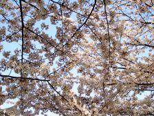 Sakura018_1